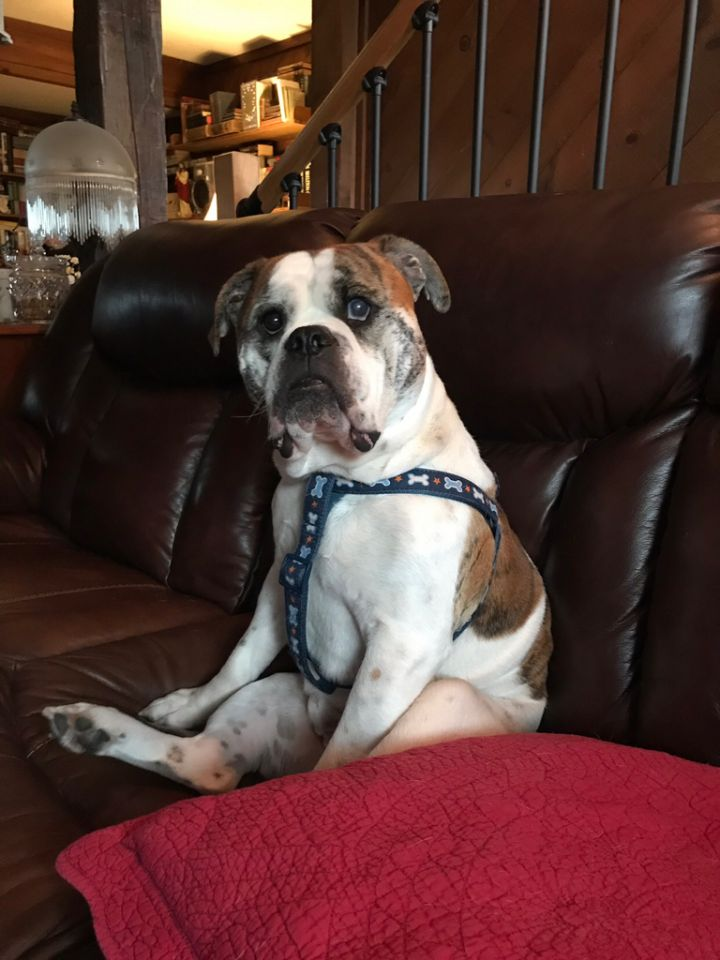 Cadet, an adopted English Bulldog in Decatur, IL