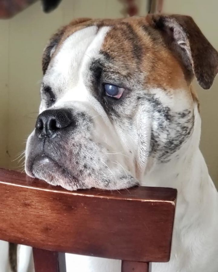 Cadet, an adoptable English Bulldog in Decatur, IL
