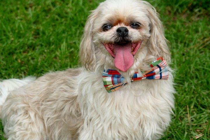 Dog for adoption - SNOOPY, a Shih Tzu in Jacksonville, FL