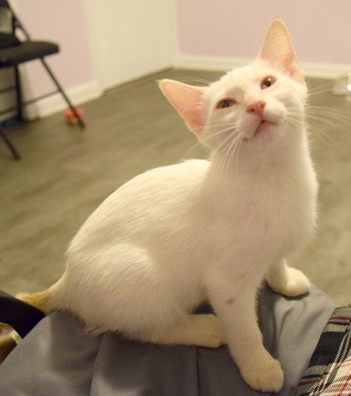 Opal, an adopted American Shorthair & Siamese Mix in Brooks, GA