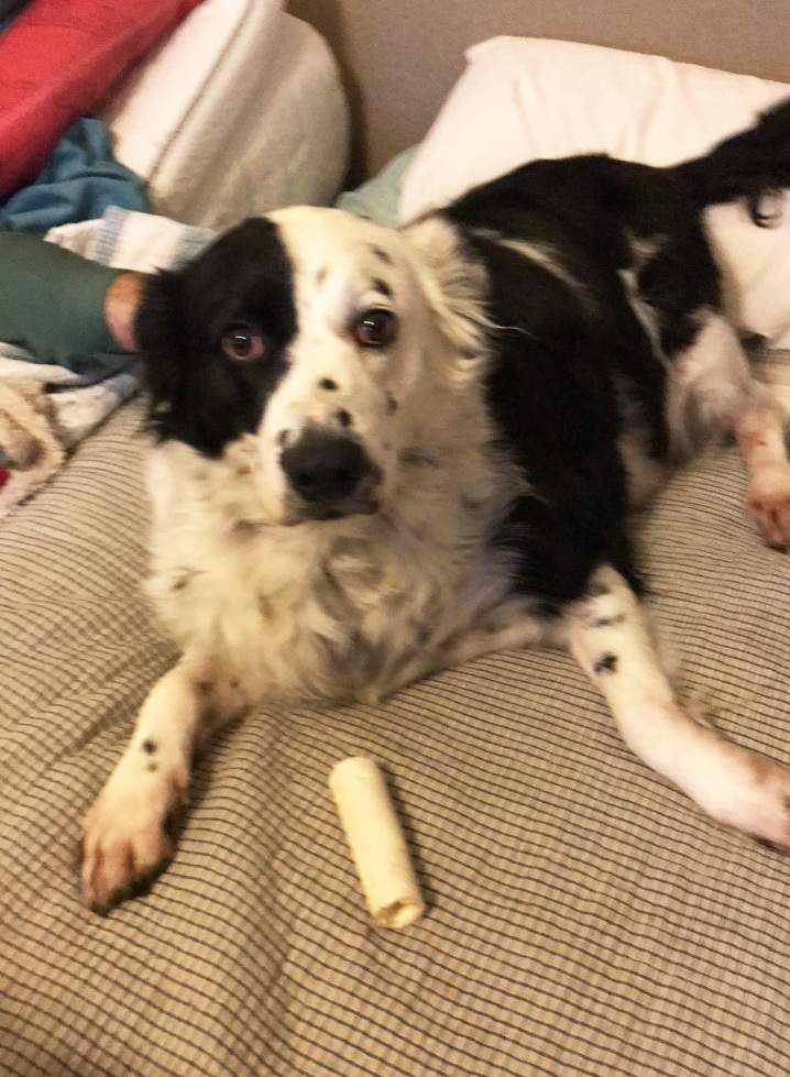 Dixie (CP), an adopted Collie & Border Collie Mix in Dallas, TX