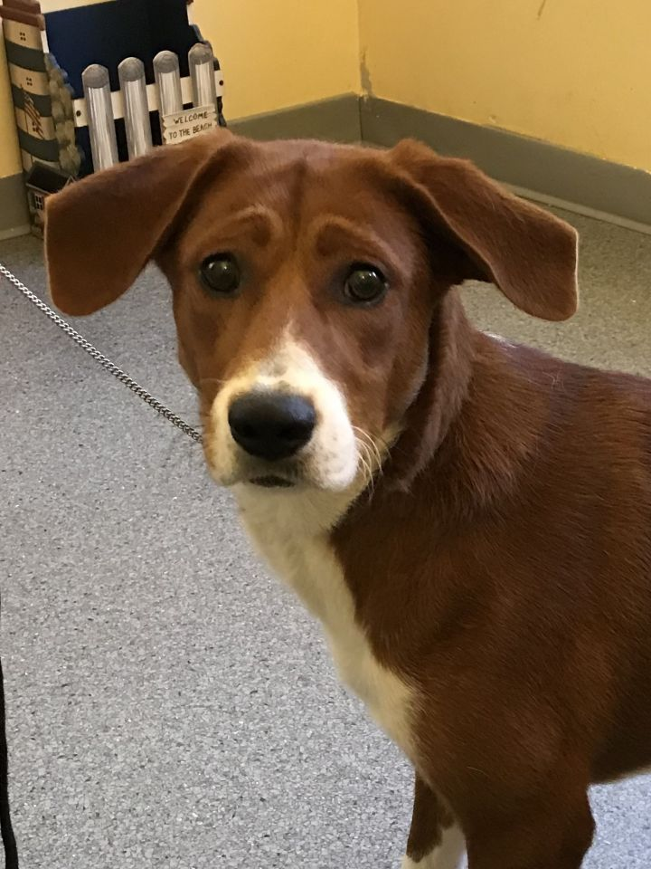 Mabel, an adoptable Brittany Spaniel & Beagle Mix in Hot Springs, VA