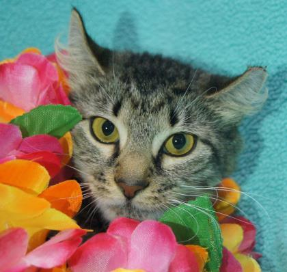 Scarlet, an adopted Domestic Medium Hair & Tiger Mix in Syracuse, NY