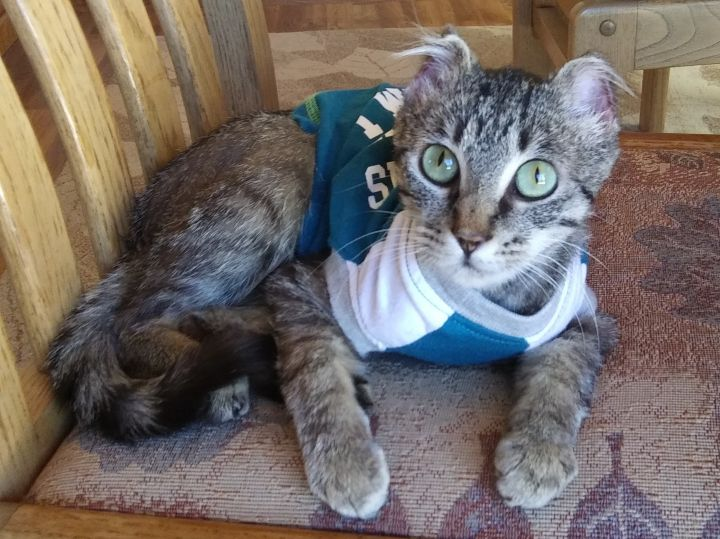 Poppy, an adoptable Tabby in Ridgway, CO