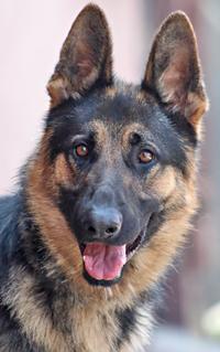 Dog For Adoption Tex Von Tegau A German Shepherd Dog In Los