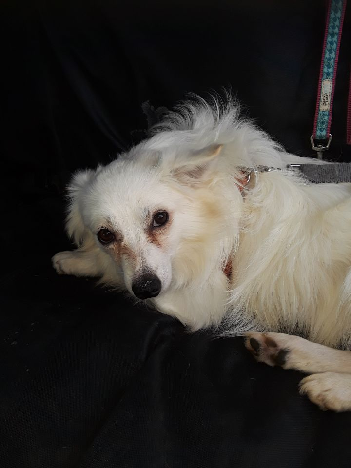 Jax, an adoptable American Eskimo Dog in Lake Forest, CA