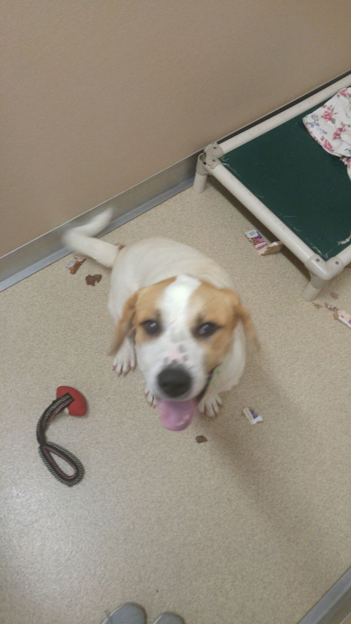 Ralph, an adoptable Great Pyrenees & Basset Hound Mix in Naperville, IL