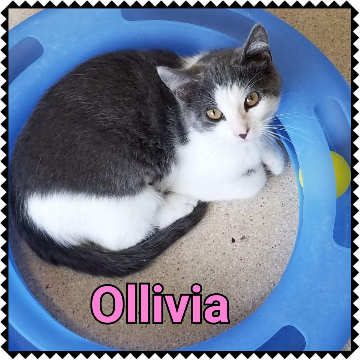 Olivia, an adopted Domestic Short Hair in North Saint Paul, MN