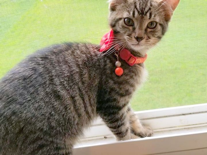 Allister, an adopted Domestic Short Hair in Pittsburgh, PA