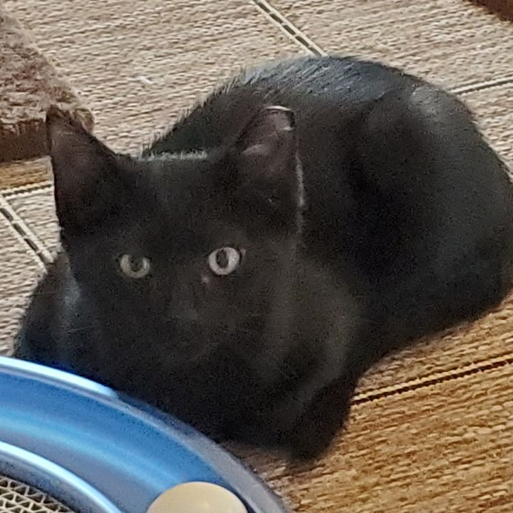 Cat for adoption - Ninja, a Domestic Short Hair Mix in