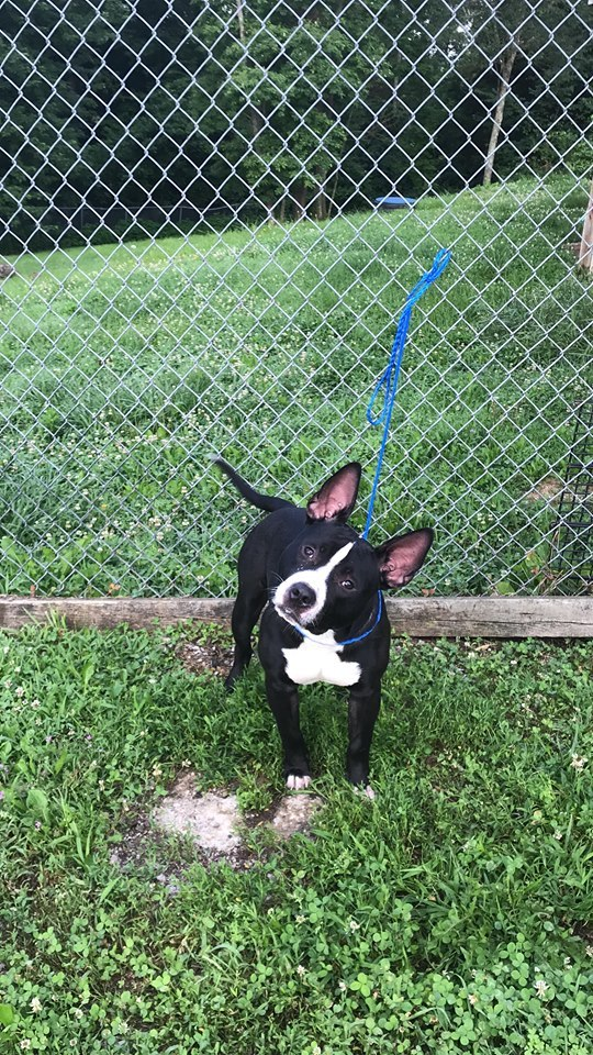 Manny, an adoptable Boston Terrier & American Staffordshire Terrier Mix in Sparta, KY