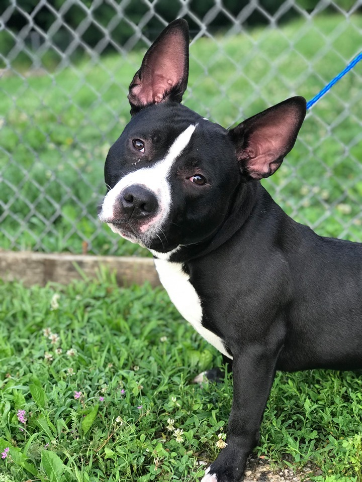 Manny, an adopted Boston Terrier & American Staffordshire Terrier Mix in Sparta, KY