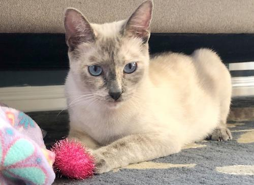Noodle, an adoptable Siamese & Domestic Short Hair Mix in Springfield, OR
