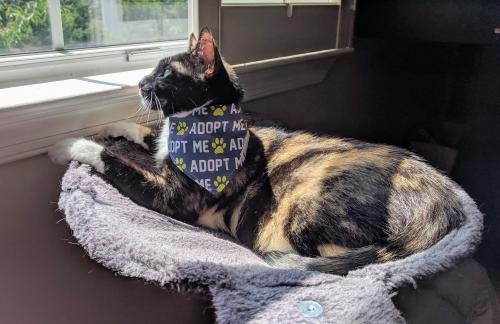 Molly, an adopted Domestic Short Hair in Herndon, VA