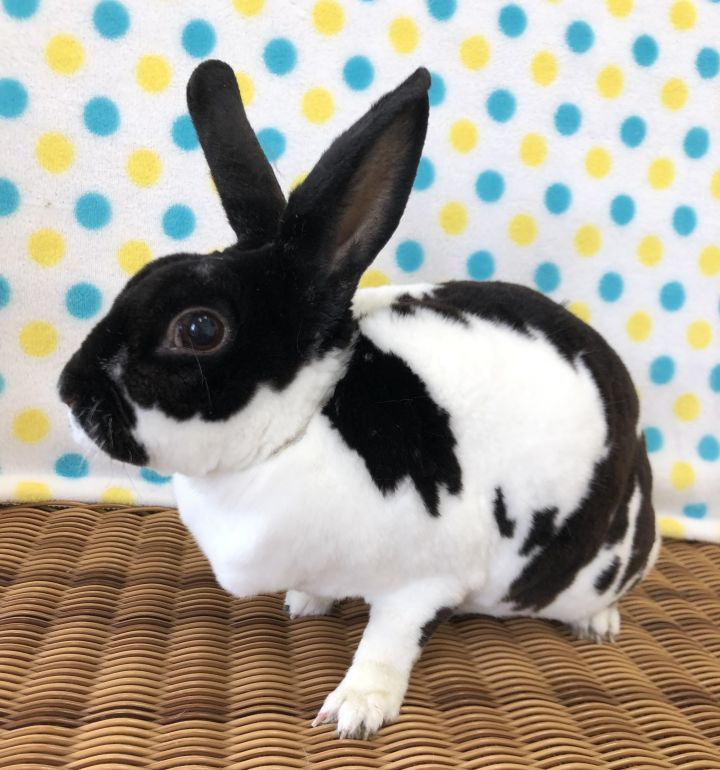 Tinky, an adopted Mini Rex in Appleton, WI