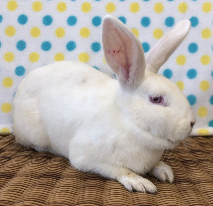Hollie, an adopted Bunny Rabbit in Appleton, WI