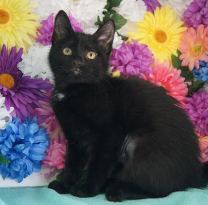 Mindy, an adopted Domestic Short Hair Mix in Syracuse, NY