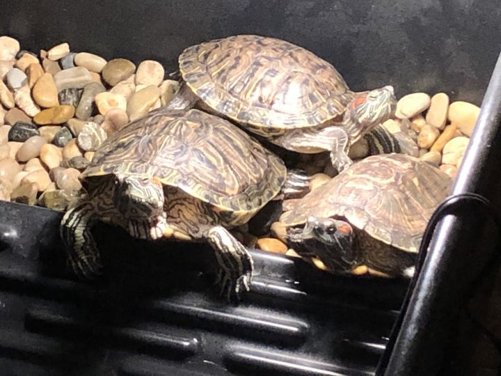 Shellyeah, an adoptable Red-Eared Slider in Appleton, WI