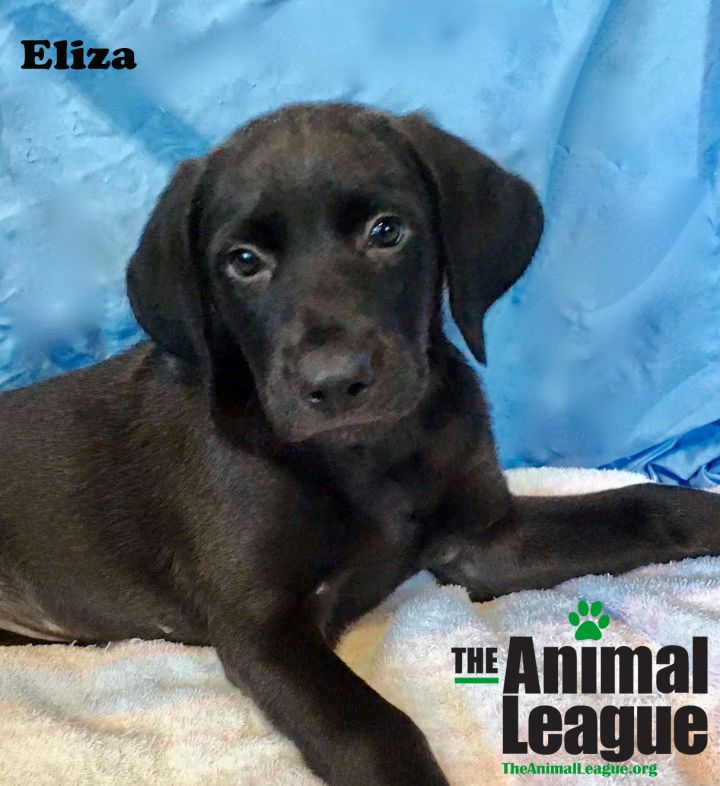 Eliza, an adoptable Labrador Retriever & Poodle Mix in Clermont, FL