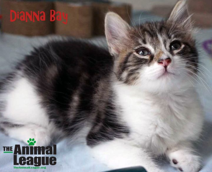 Dianna Bay, an adoptable Domestic Long Hair Mix in Clermont, FL