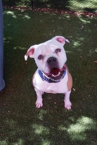 Dog for adoption - Madden, an American Bulldog Mix in