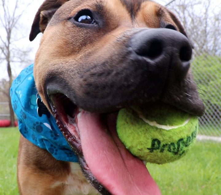 Todd, an adoptable Boxer & Shepherd Mix in Kansas City, KS