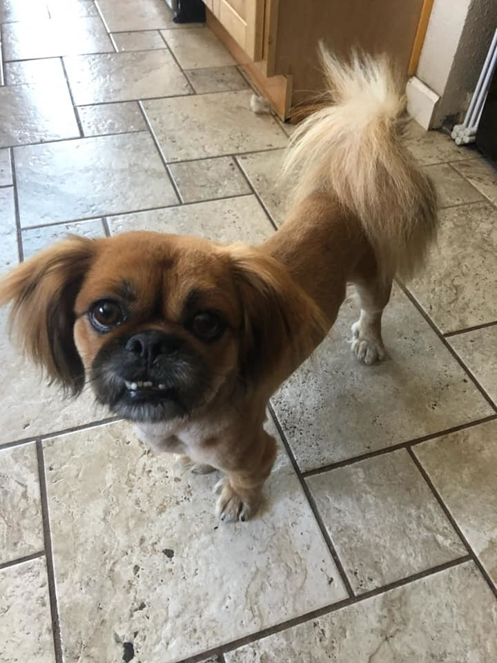 Gus Gus, an adopted Pekingese in Oakland, CA