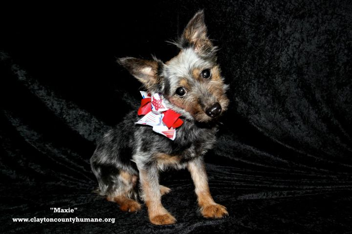 Dog for adoption - Maxie, a Yorkshire Terrier & Pomeranian
