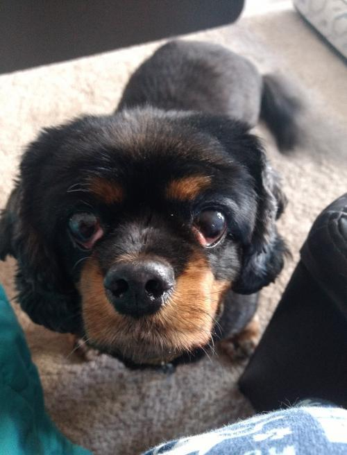 Geliebte Dog for adoption - Charley, a Cavalier King Charles Spaniel #OM_47