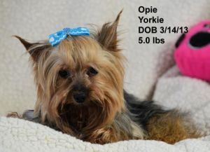Dog For Adoption Opie A Yorkshire Terrier In Peyton Co Petfinder