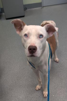 Dog For Adoption Cheerio A Pit Bull Terrier Siberian Husky Mix