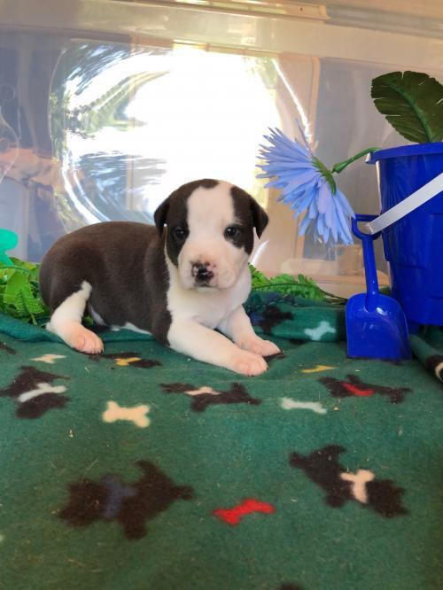 Dog For Adoption Matar A Pit Bull Terrier Border Collie Mix In