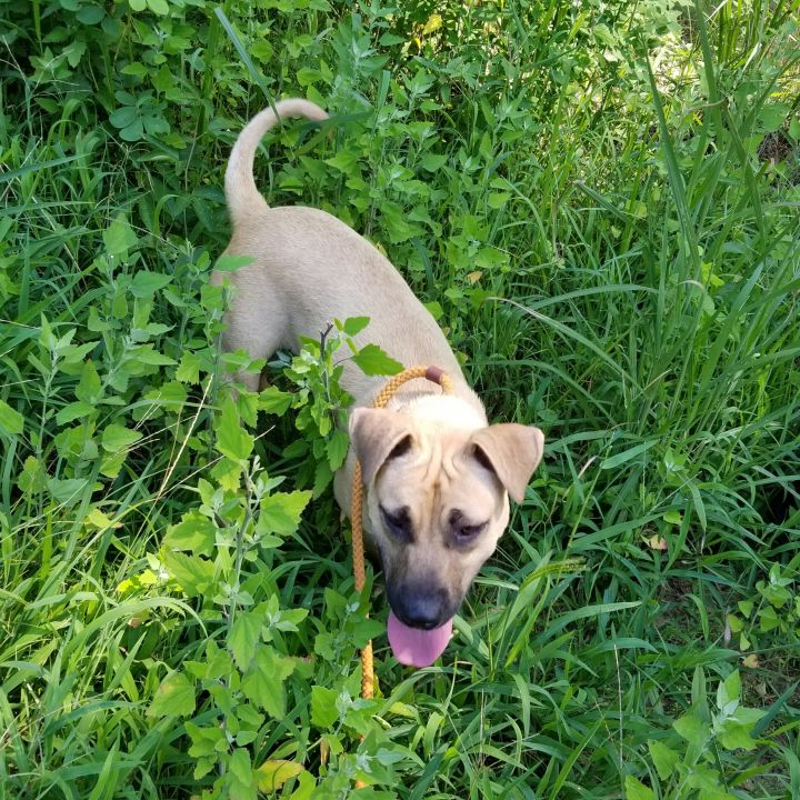 Blanca, an adoptable Anatolian Shepherd & Labrador Retriever Mix in Clayton, NC