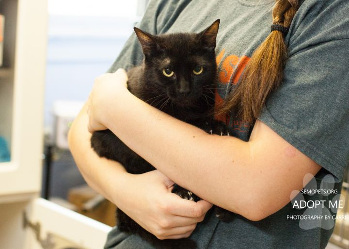 Jupiter, an adoptable Domestic Short Hair in Cape Girardeau, MO