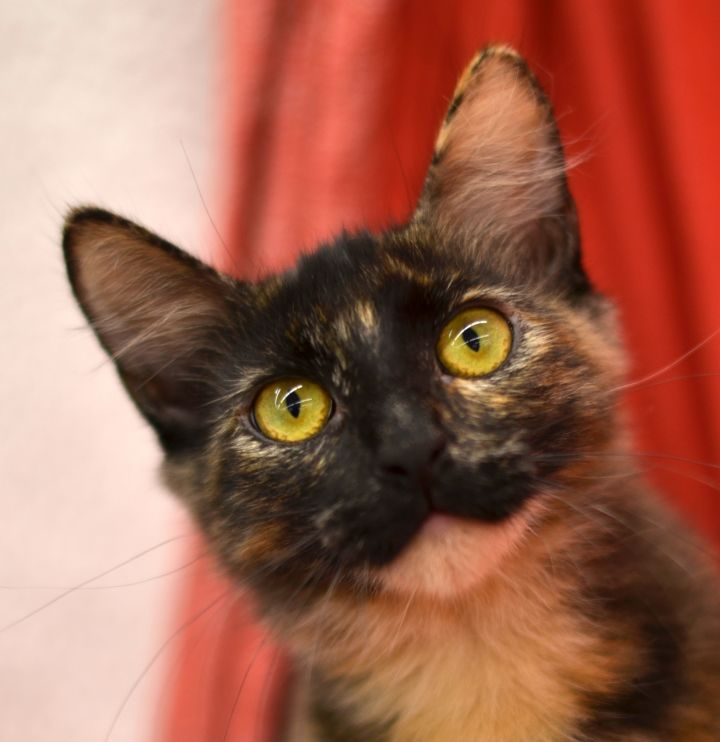 Cat for adoption - Nancy - 1960 Petsmart, a Tortoiseshell