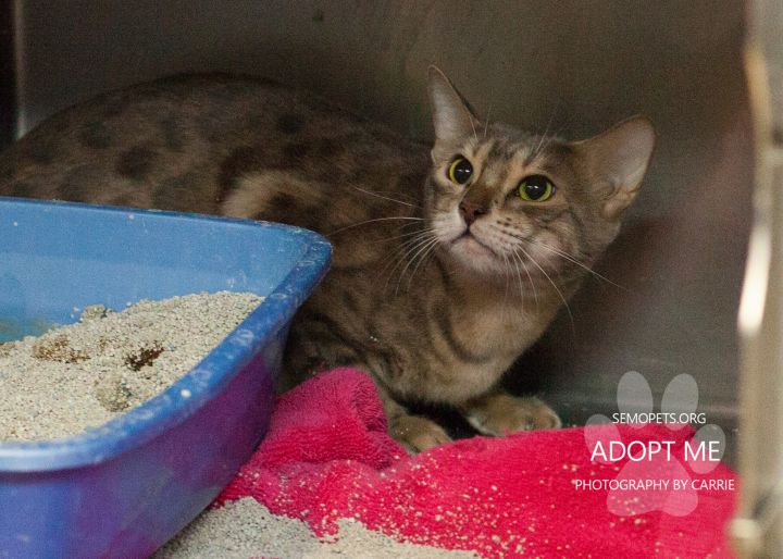 Bo, an adopted Domestic Short Hair & Bengal Mix in Cape Girardeau, MO