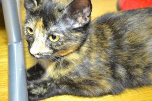 . Tommy Tortie Baby .