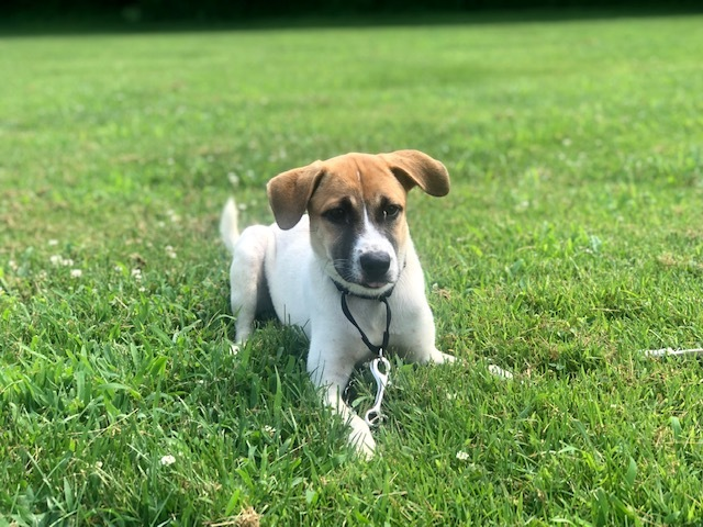 Rosemary, an adoptable Terrier Mix in Cynthiana, KY