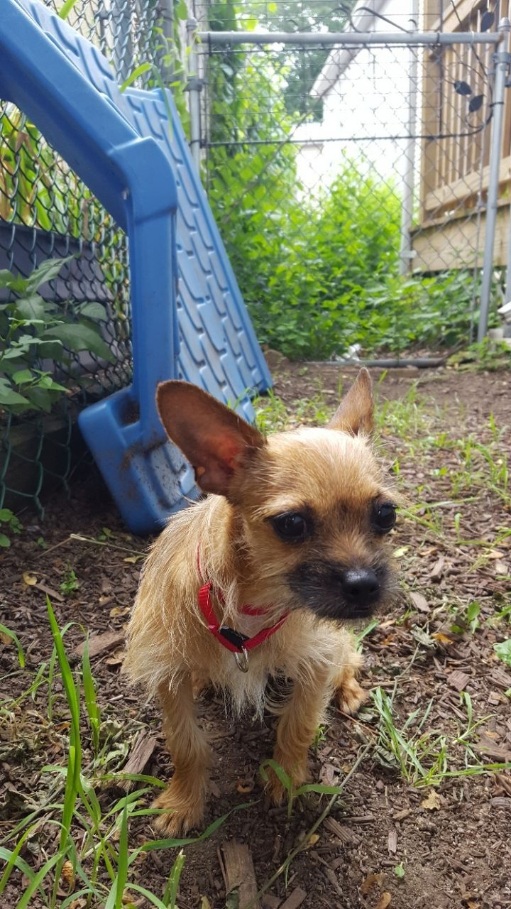 Cha-Chi, an adoptable Chihuahua Mix in Natick, MA