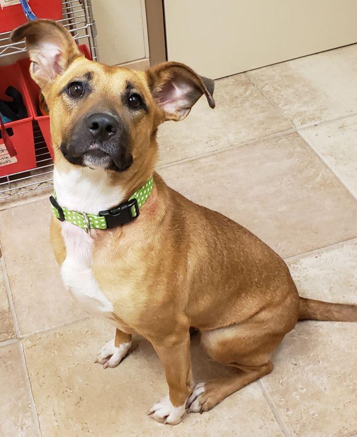 Dog for adoption - Carly, a Labrador Retriever Mix in