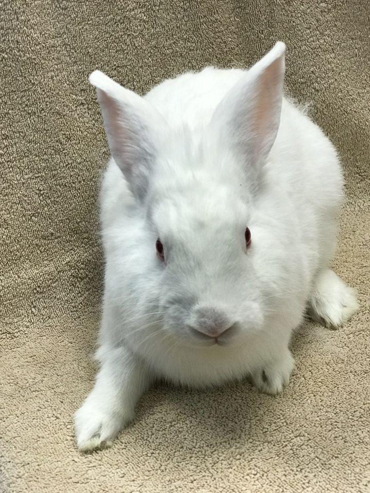 Rabbit for adoption - Faith, a Bunny Rabbit in Fountain