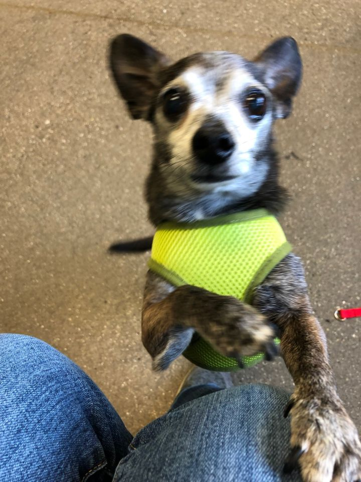 Jack, an adoptable Chihuahua in Jamestown, MI