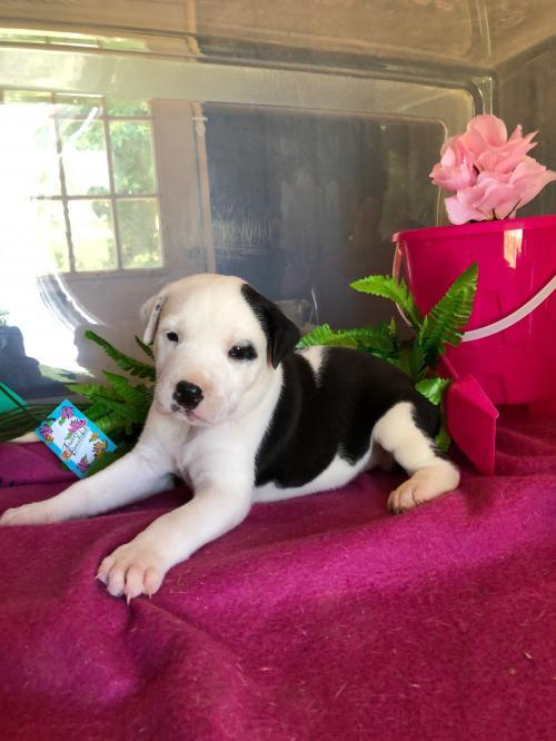 Dog For Adoption Samosa A Pit Bull Terrier Border Collie Mix In