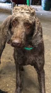Dog for adoption - Princeton, a Standard Poodle in North Wales, PA