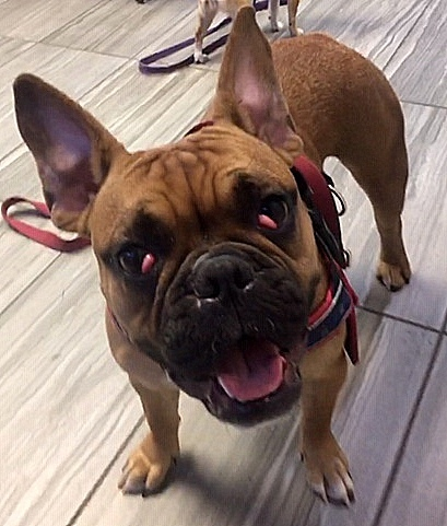 Dog For Adoption Remi A French Bulldog English Bulldog Mix In