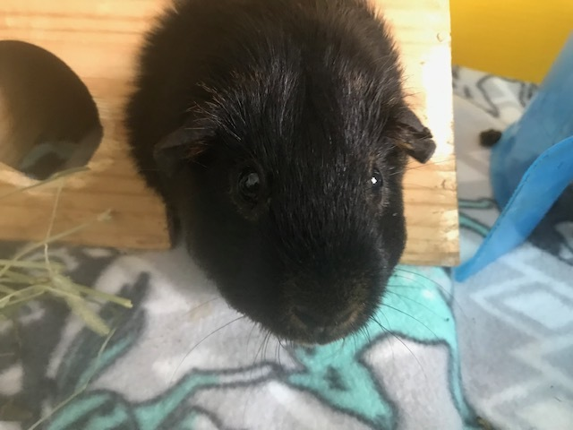 Percy, an adopted Guinea Pig in Saint Paul, MN