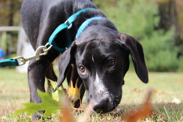 Easton, an adoptable Mixed Breed in Northwood, NH