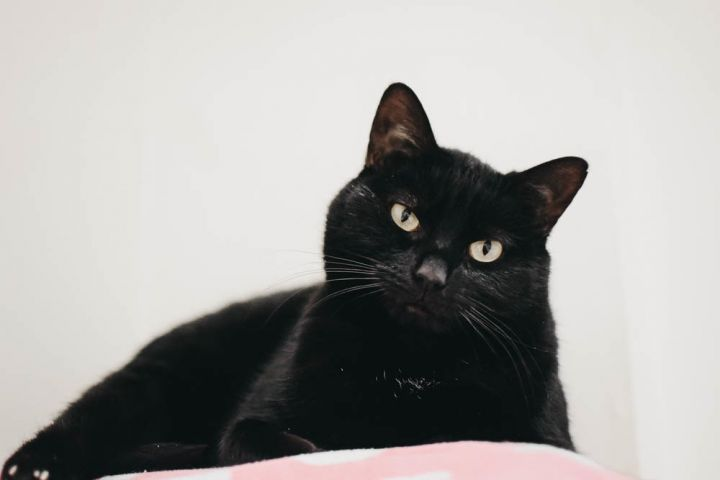 Sweety, an adoptable Domestic Short Hair Mix in Longview, WA