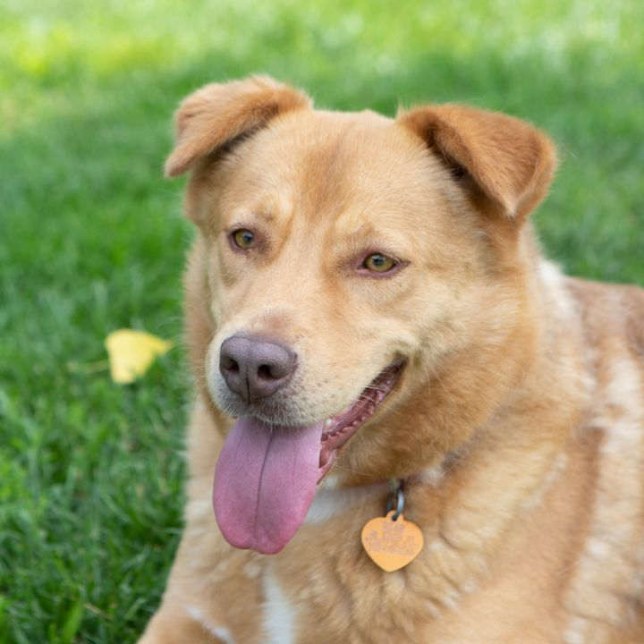 Caroline, an adoptable Labrador Retriever Mix in Ridgefield, CT