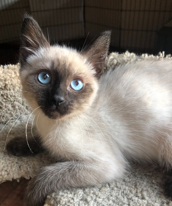 Romeo, an adopted Siamese in Garfield Heights, OH
